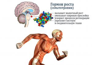 Гормон роста (соматотропин) влияет на построение мышечной структуры