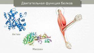 Двигательная функция белка